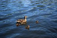 Des canards dans le port de Roanne