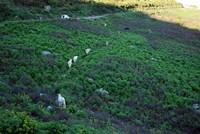 Des vaches au col de Teghime