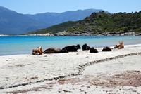 Des vaches sur la plage de Saleccia
