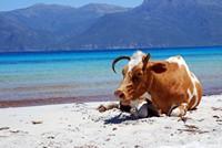 Une vache sur la plage de Saleccia